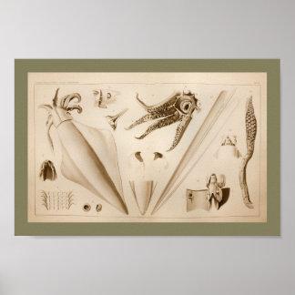 1896 Vintage Squid Anatomy Art Print
