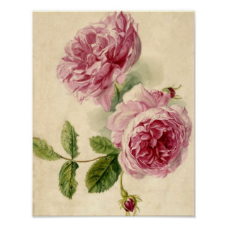 18th Century Pink Rose Study Poster