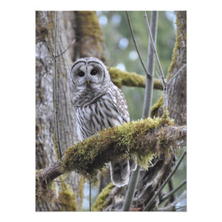 18X24 Barred Owl in Big Leaf Maple Tree Photo Print