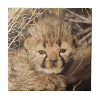 19 days old male cub. Namibia Tile