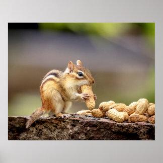 20x16 Chipmunk eating a peanut Poster