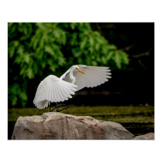 20x16 Great Egret Poster