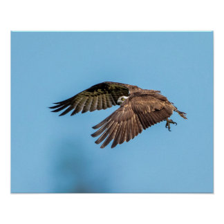 20x16 Osprey at Honeymoon Island State Park Poster