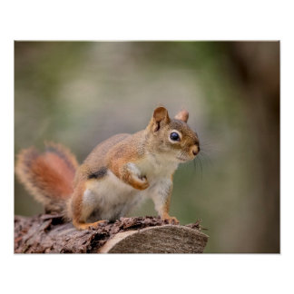 20x16 Red Squirrel Poster