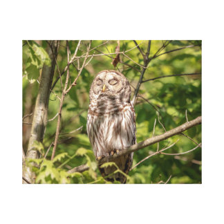 20x16 Sleepy Barred Owl Canvas Print