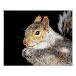 20x16 Squirrel eating a nut Poster