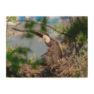 24x18 Bald Eagle leaving the nest Wood Print