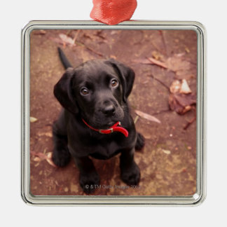 25 Week Old Black Lab Christmas Ornament