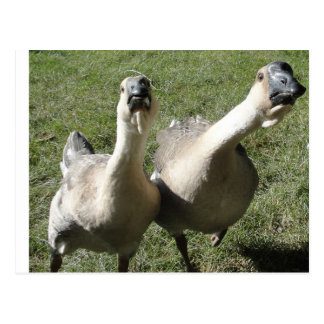 2 geese a honking postcard