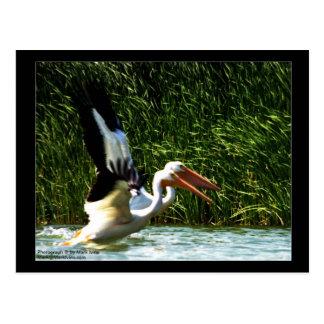2 Pelicans Postcard