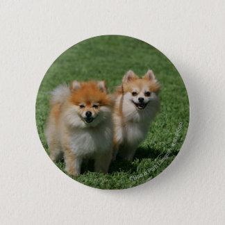 2 Pomeranians Looking at Camera 6 Cm Round Badge