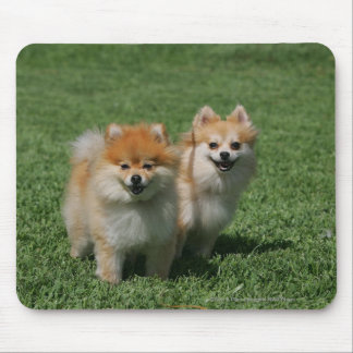 2 Pomeranians Looking at Camera Mouse Mat