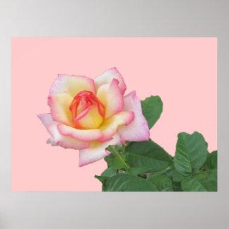 2-Tone Pink Rose Poster