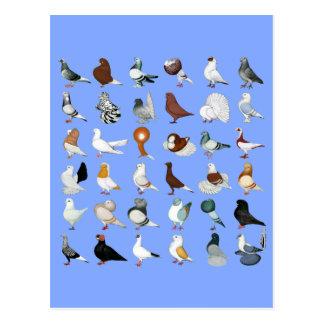 36 Pigeon Breeds Postcard