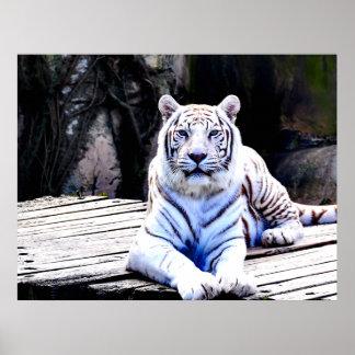 36 X 27 WHITE TIGER PREMIUM CANVAS GLOSS POSTER