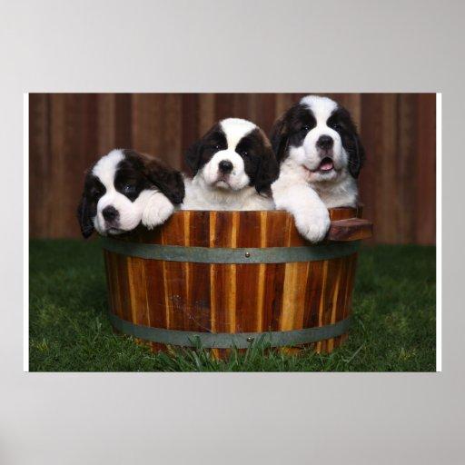 3 Adorable Saint Bernard Puppies in a Barrel