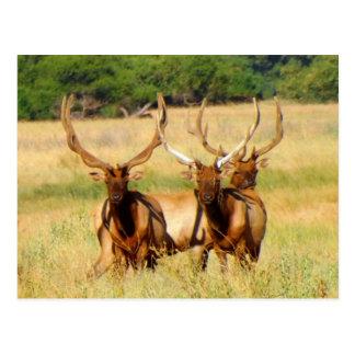 3 Bulls (Elk) Postcard