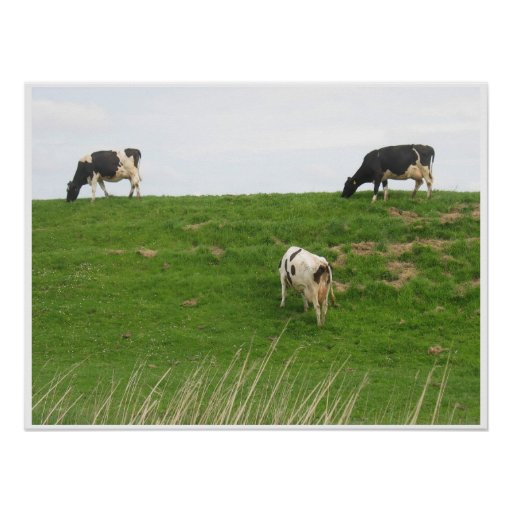 3 Cows grazing Print