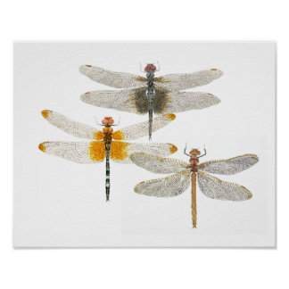 3 Dragonflies Poster