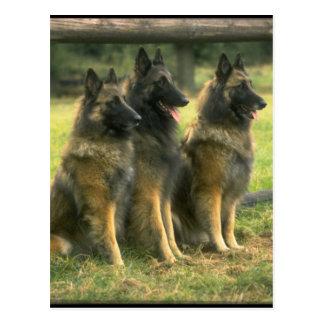 3-German Shepherds Postcard