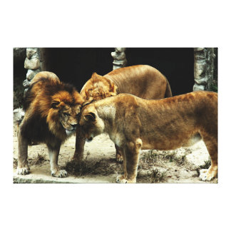 3 Lions Pushing their Heads Together Gallery Wrap Canvas