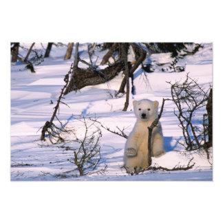 3 month old polar bearcoy) standing at scrub photo print