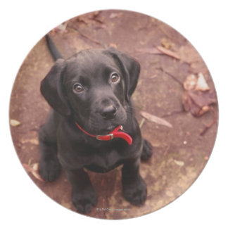 47 Week Old Black Lab Plate