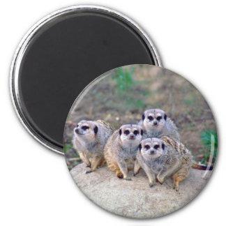 4 Meerkats Peering Magnet