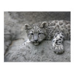 4 month old Snow leopard cub draped over a rock Postcard