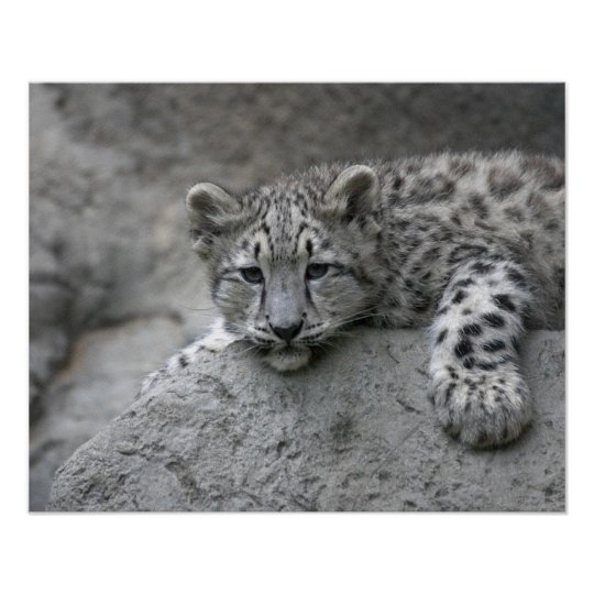 4 month old Snow leopard cub draped over