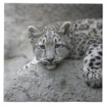 4 month old Snow leopard cub draped over a rock Tile