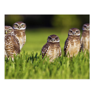 5 Burrowing Owls Athene Cunicularia Postcards