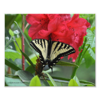 5X7 Swallowtail Butterfly on a Rhododendron Photo Print