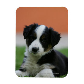 6 Week Old Border Collie Magnet