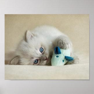 6 week old Ragdoll kitten Poster