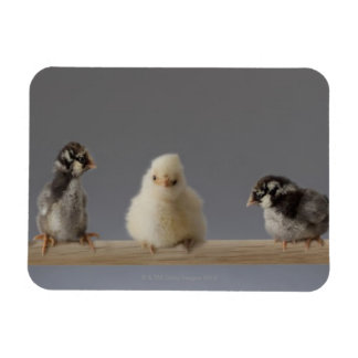 7 Baby Pet Chickens on a Perch Rectangular Photo Magnet