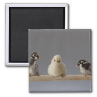 7 Baby Pet Chickens on a Perch Square Magnet