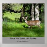 7 Black Tail Deer, Black Tail Deer  Mt. Diablo,... Poster