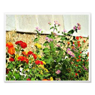 7 x 5 Photo Print of Lantana Flowers