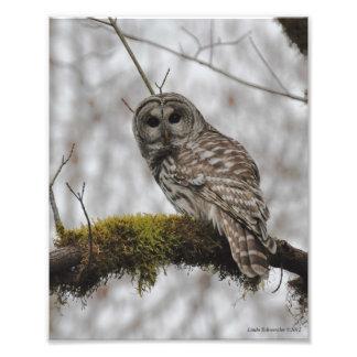 8X10 Barred Owl in Big Leaf Maple Tree Photo Print
