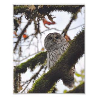 8X10 Barred Owl on a Big Leaf Maple Photo