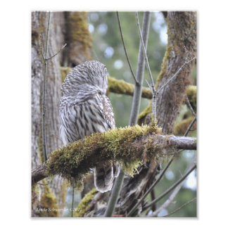 8X10 Barred Owl on a Mossy Branch Photo Print