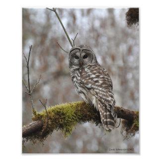 8X10 Barred Owl on Big Leaf Maple Photo