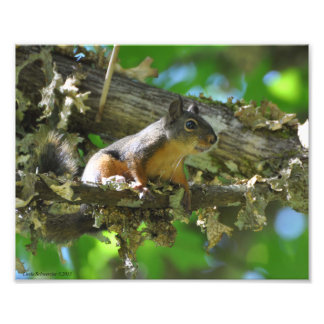 8X10 Douglas Squirrel sitting in a Maple tree Photo Print