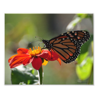 8X10 Monarch Butterfly on Mexican Sunflower Torch Photo Print