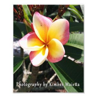 8x10 print- Pink and yellow plumeria Photo