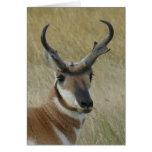 A0005 Pronghorn Antelope Buck Greeting Card