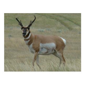 A0033 Pronghorn Antelope Postcard