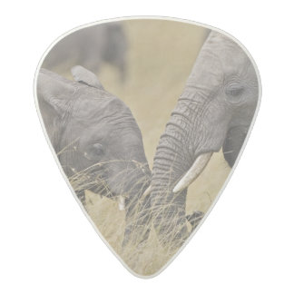 A African Elephant grazing in the fields of the Acetal Guitar Pick