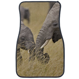 A African Elephant grazing in the fields of the Car Mat